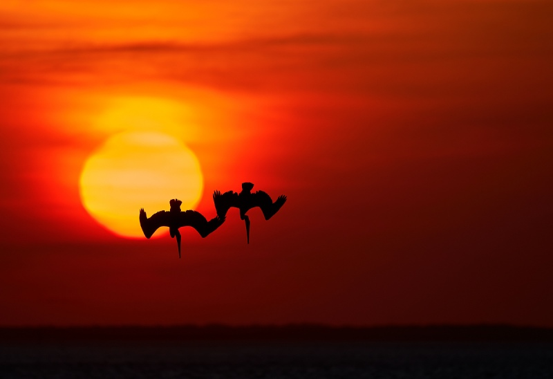 a-Brown-Pelicans-diving-in-front-of-setting-sun-giga-_A928166-South-Padre-Island-TX-1