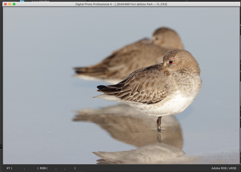 dunlin-two-R5-af-perfect-eye