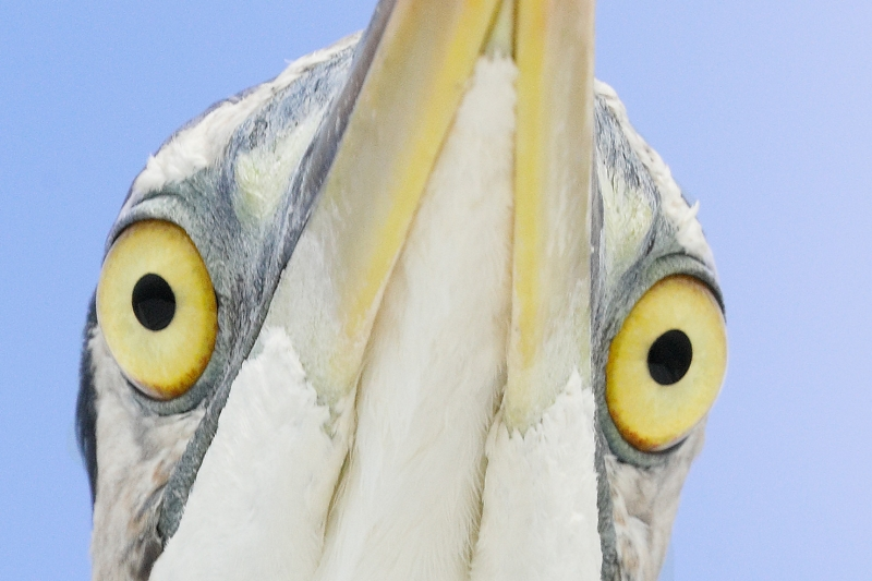 eyes-Great-Blue-Heron-from-below-_P3A2367--Fort-DeSoto-Park,-FL