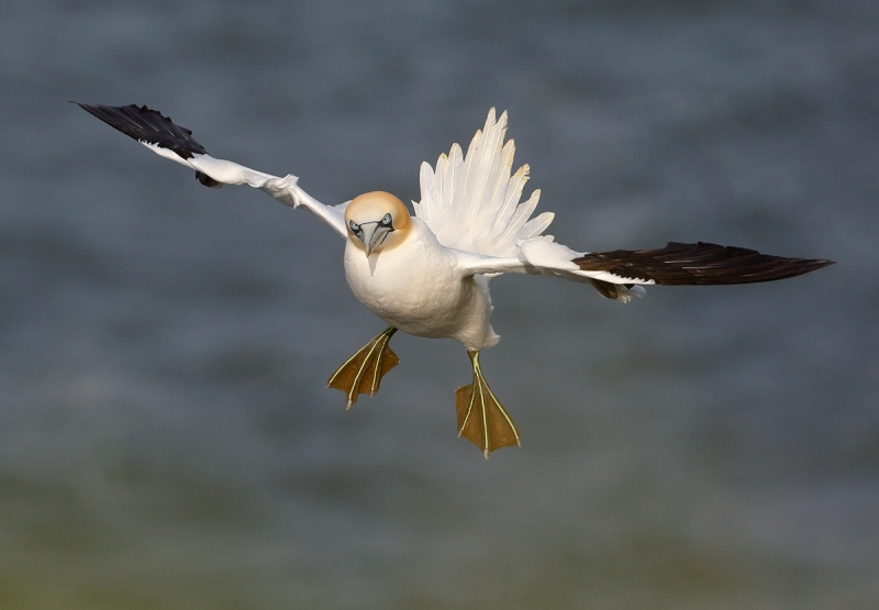 gannet-incoming mike poole