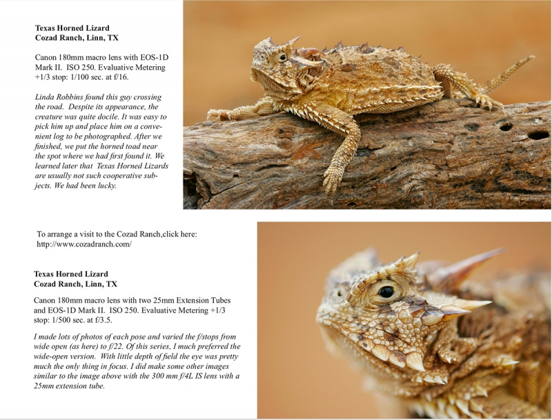 horned-toad-ABP-II