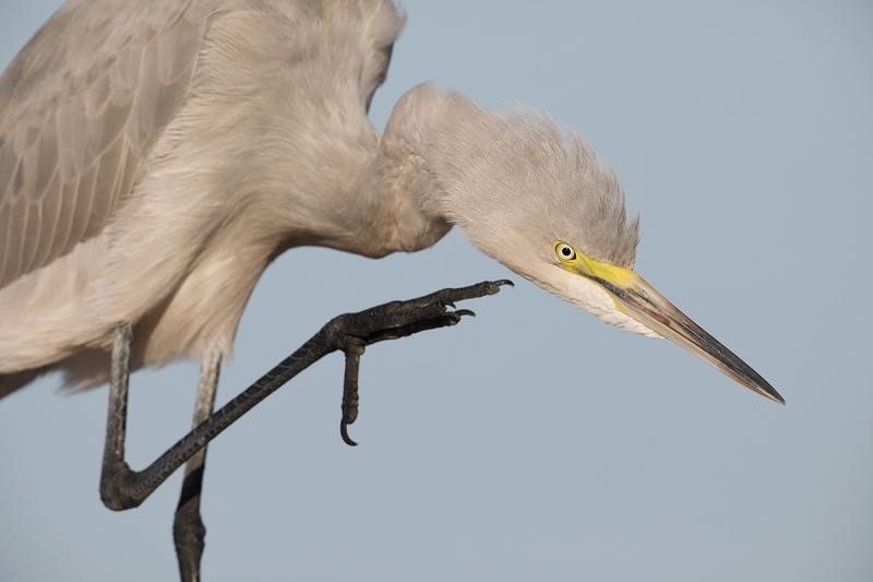 mystery-egret-scratching-_W5A8630-Fort-DeSoto-Park,-FL