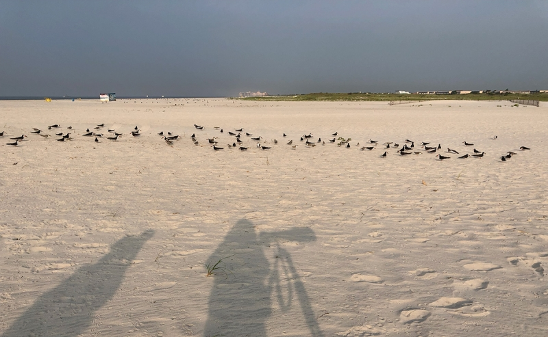 shadows-and-skimmer-flock-IMG_0474