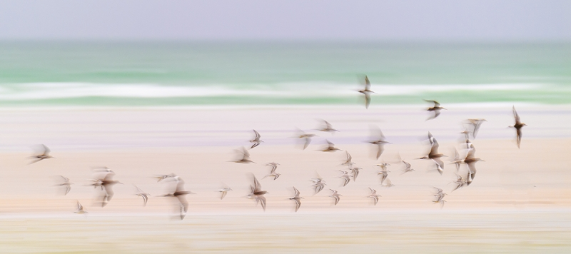 shorebird-flock-blur-_DSC7685-Fort-DeSoto-Park,-FL
