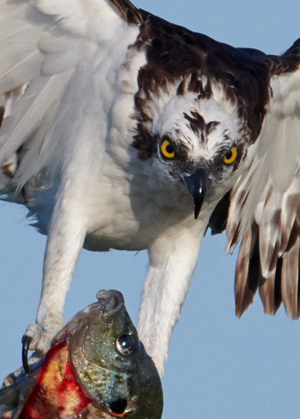 tight-crop-Osprey-on-perch-with-prey-_BUP7178--Indian-Lake-Estates-FL-1