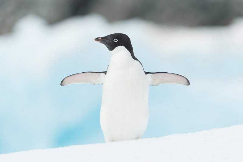 Adelie-Penguin-on-ice-wings-spread-_Y7O8655-Hope-Bay,-Antarctica