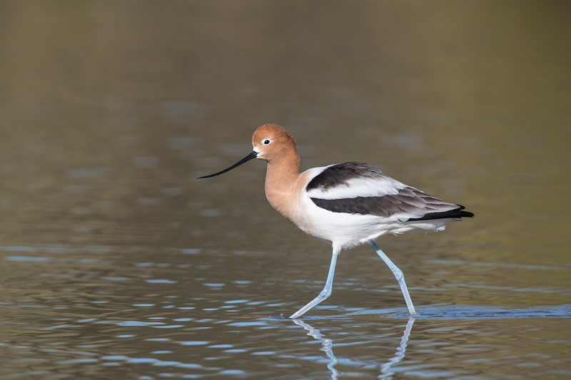 American-Avocet-breeding-plumage-striding--_DSC8071--Gilbert-Water-Ranch-Riparian-Preserve,-Phoenix,-AZ