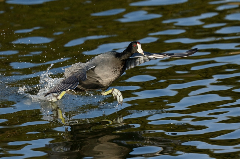 American-Coot-running-7D-II-1-4-_Y8A4474--Santee-Lakes,-CA