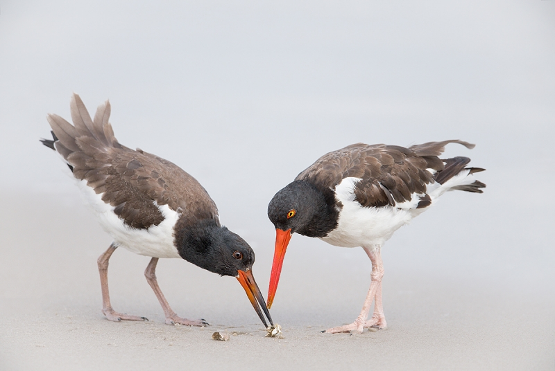 American-Oystercatcher-fledgling-eating-sand-crab-_MAI4404Nickerson-Beach-Park,-Gilgo-Beach,-NY