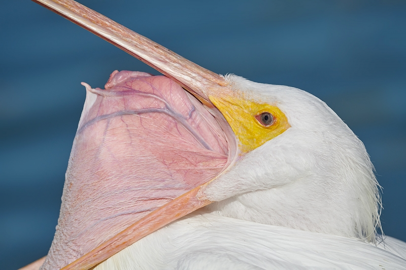 American-White-Pelican-cleaning-bill-pouch-_BUP8899-Lakeland,-FL
