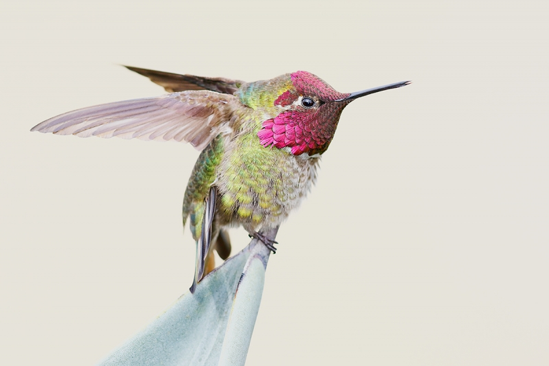 Anna's-Humminbird-male-wing-stretch-_22A2994-La-Jolla,-CA--