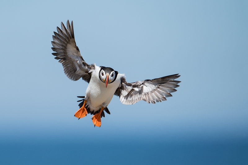 Atlantic-Puffin-incoming-_MAI9932islands-off-Seahouses,-UK
