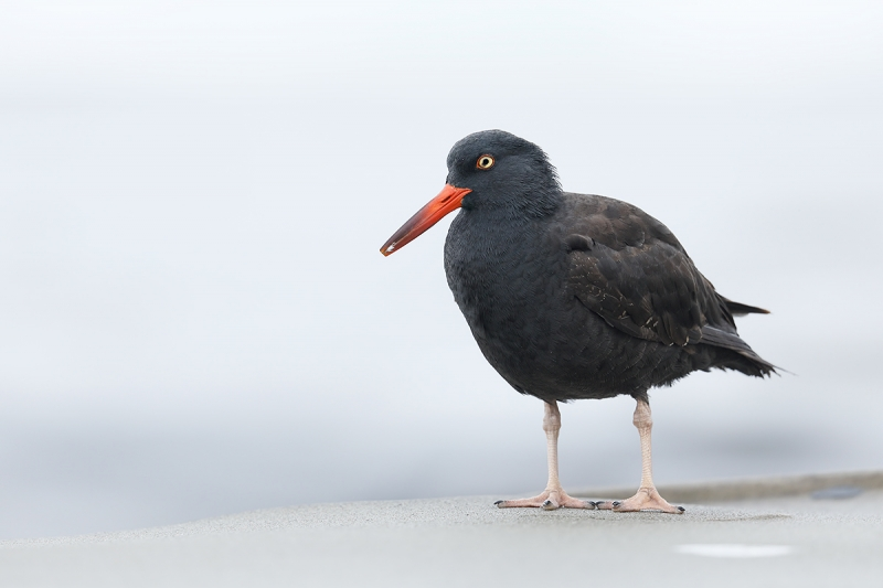 Black-Oystercatcher-high-key-_W5A9990-La-Jolla,-CA
