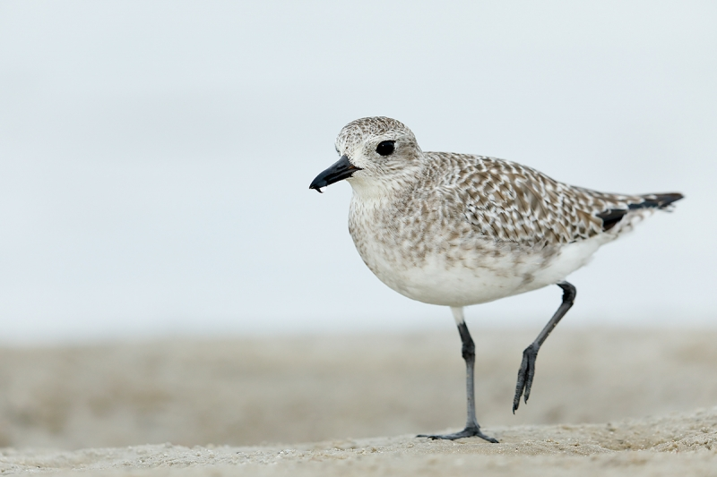 Black-bellied-plover-worn-juvenile-_W5A9364-Fort-DeSoto-Park,-Pinellas-County,-FL-