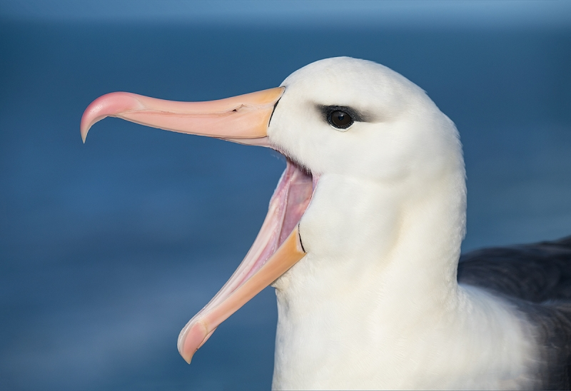Black-browed-Albatross-calling-canvas-expanded-_BUP0430--The-Rookery,-Saunders-Island,-The-Falklands
