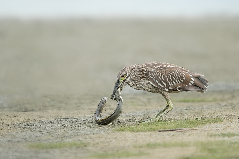 Black-crowned-Night-Heron-LESS-YELLOW-juvenile-with-American-Eel--_A0I8413-East-Pond,-Jamaica-Bay-WR,-Queens,-NY