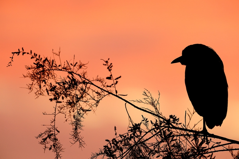 Black-crowned-Night-Heron-silhouette-_W5A5025-Gilbert-Water-Ranch,-Phoenix,-AZ