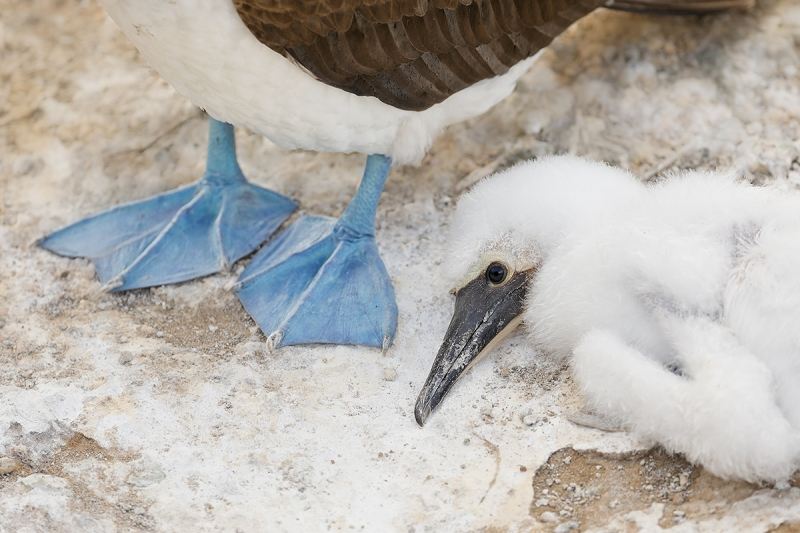 Blue-footed-Booby-large-chick-resting-_P3A6719-Punta-Pitt-(Chathm),-Galapagos,-Ecuador