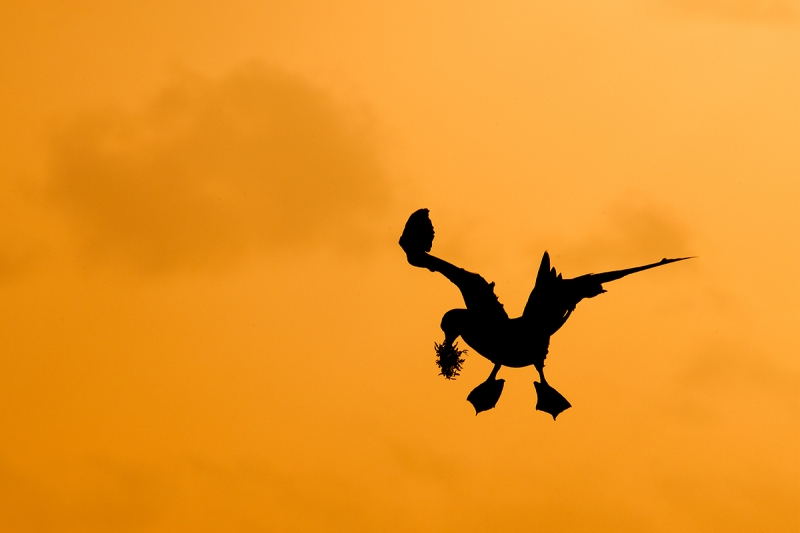 Brown-Booby-landing-w-nesting-material----silhouette-_DSC6458--Cayman-Brac