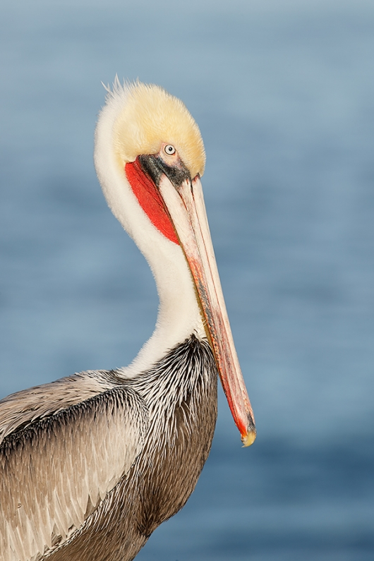 Brown-Pelican-Pacific-race-pre-breeding_J1I9658--La-Jolla,-CA