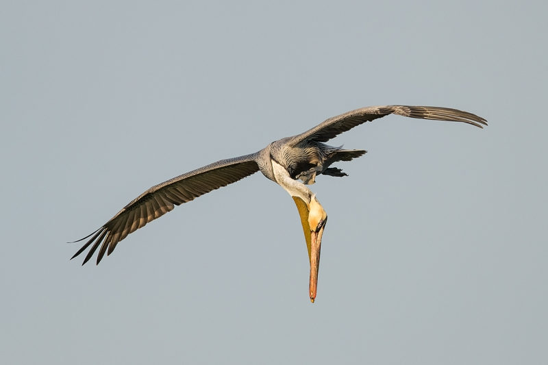 Brown-Pelican-scratching-in-flight-_DSC4281--Alafia-Banks,-Tampa-Bay,-FL