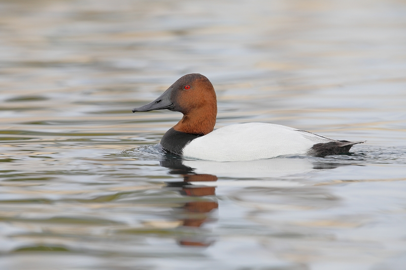 Canvasback-drake-swimming-_W5A5876-Phoenix,-AZ