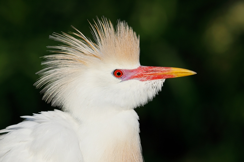 Cattle-Egret-breeding-plumage-head-HORZ-_W5A1017-Gatorland,-Kissimmee,-FL