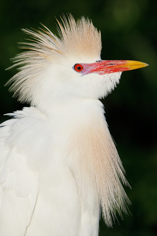 Cattle-Egret-breeding-plumage-head-VERT-o-o-c-_W5A1023-Gatorland,-Kissimmee,-FL