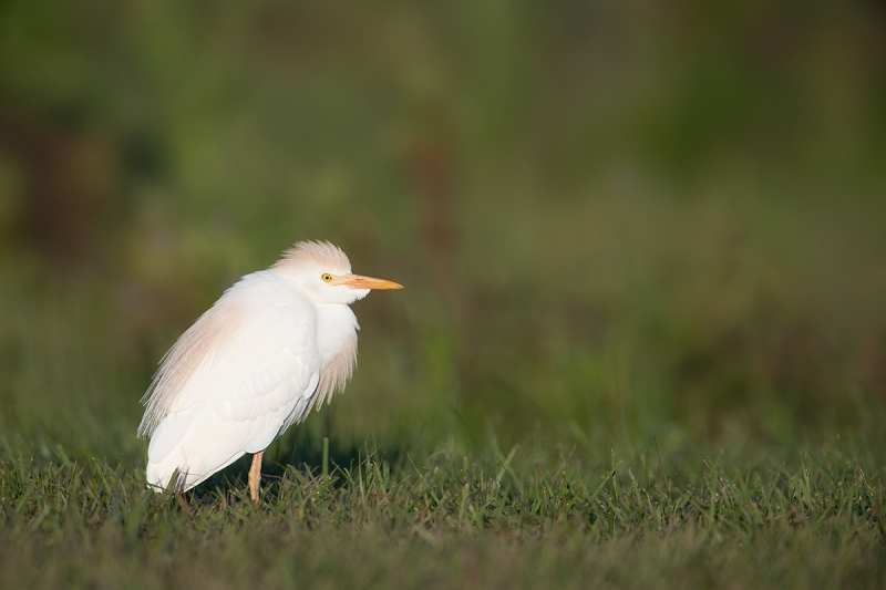 Cattle-Egret-early-morning-light-_DSC3135--Indian-Lake-Esates,-FL