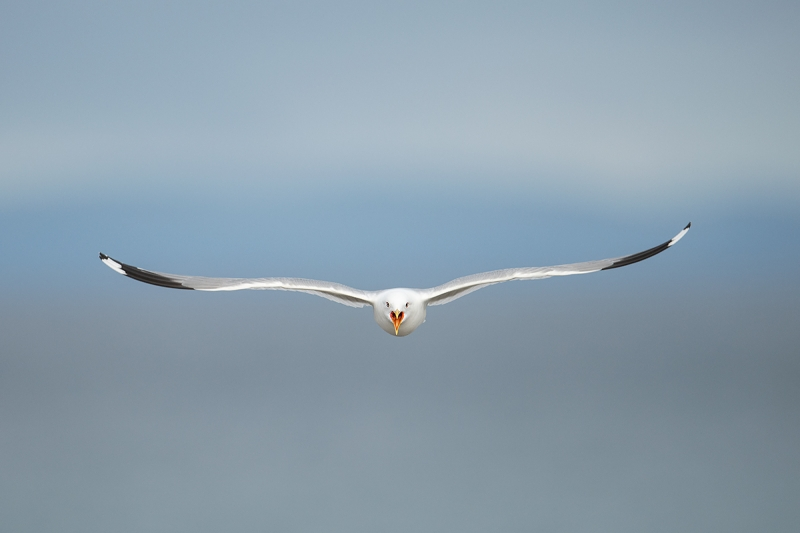 Common-Gull-incoming-screaming-_MAI3524-Vadso,-Norway