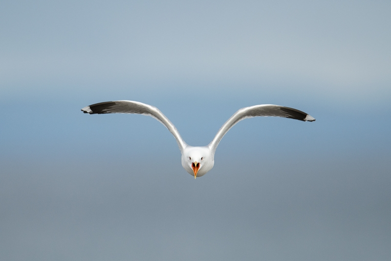Common-Gull-wings-raised-screaming-_MAI3523-Vadso,-Norway