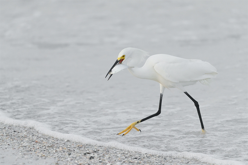 DI-Snowy-Egret-with-greenback-_A0I1070-Fort-DeSoto-Park-Pinellas-County-FL