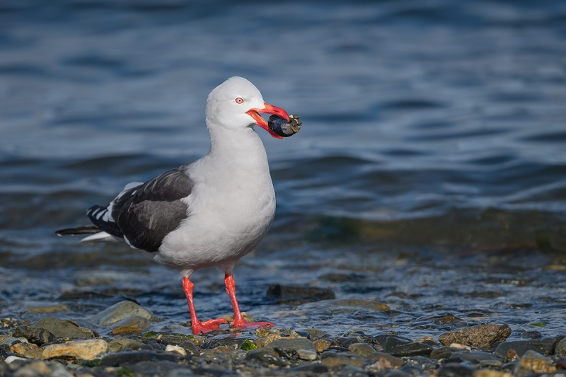 Dolphin-Gull-with-mussel-_MAI0570Ushuaia,-Argentina