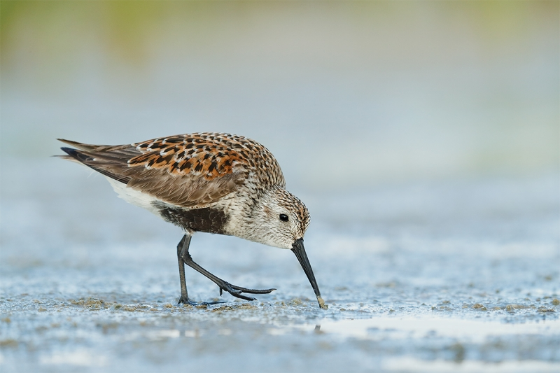 Dunlin-breeding-plumage-adult-feeding-_A0I8052-Fort-DeSoto-Park,-Pinellas-County,-FL