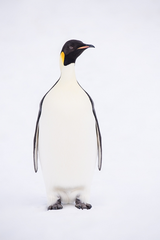 Emperor Penguin adult standing on snow _BUP5444  Snow Hill Island, Antarctica