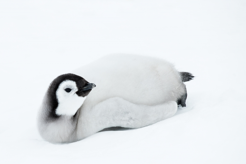 Emperor-Penguin-chick-in-pure-snow-_BUP6602--Snow-Hill-Island,-Antarctica