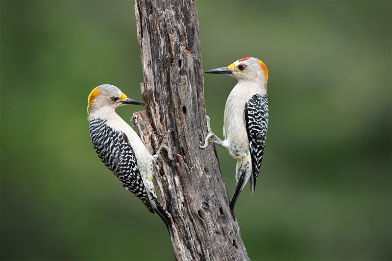 Golden-fronted-Woodpecker-pair-_MAI4911-Ramirez-Ranch-Roma-TX