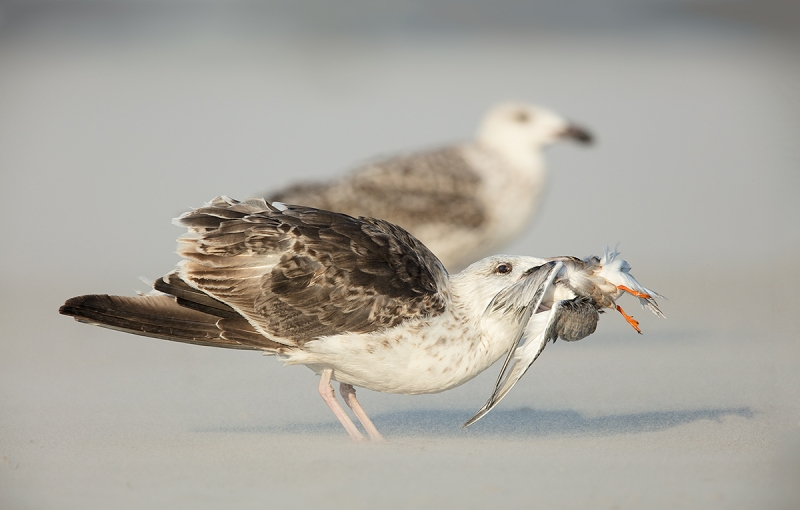 Great-Black-backed-Gulll-juvenile-swallowing-young-Common-Tern-_T0A3875-Nickerson-Beach,-LI,-NY