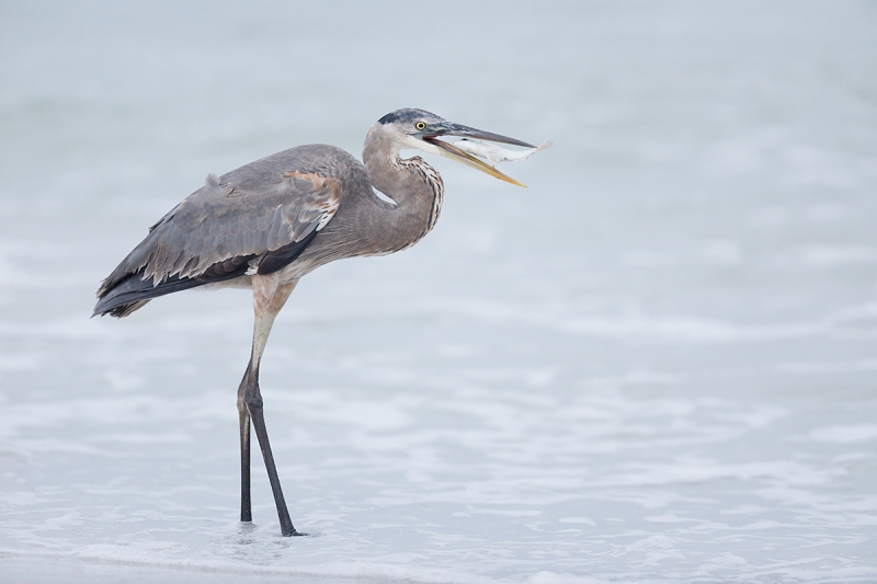 Great-Blue-Heron-w-pinfish-_W5A9596-Fort-DeSoto-Park,-Pinellas-County,-FL-