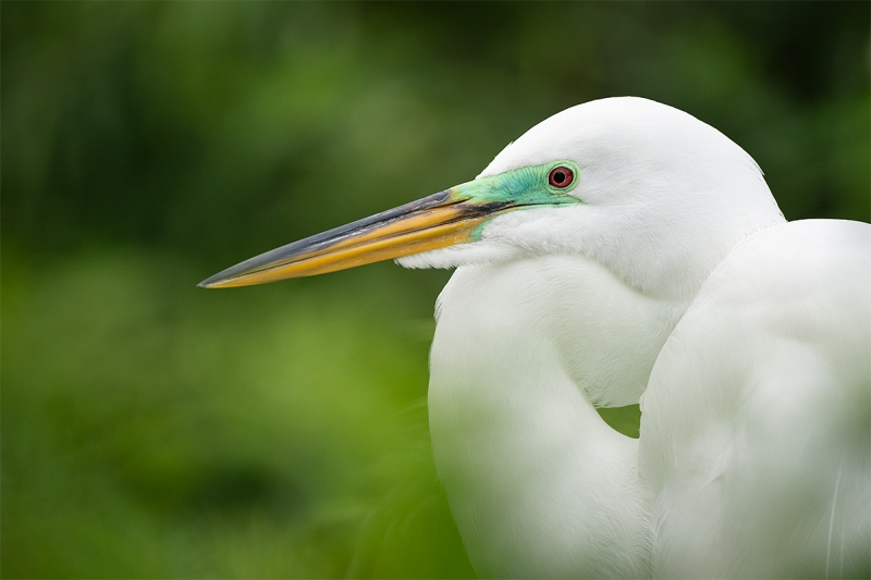 Great-Egret-breeding-plumage-_A9A7184-Gatorland,-Kissimmee,-FL-