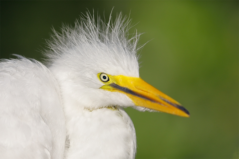 Great-Egret-large-chick-head-portrait-_W5A2244-Gatorland,-Kissimmee,-FL