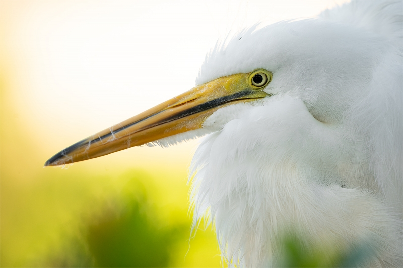 Great-Egret-large-unfledged-chick-_A9A0896--Gatorland-Kissimmee-FL