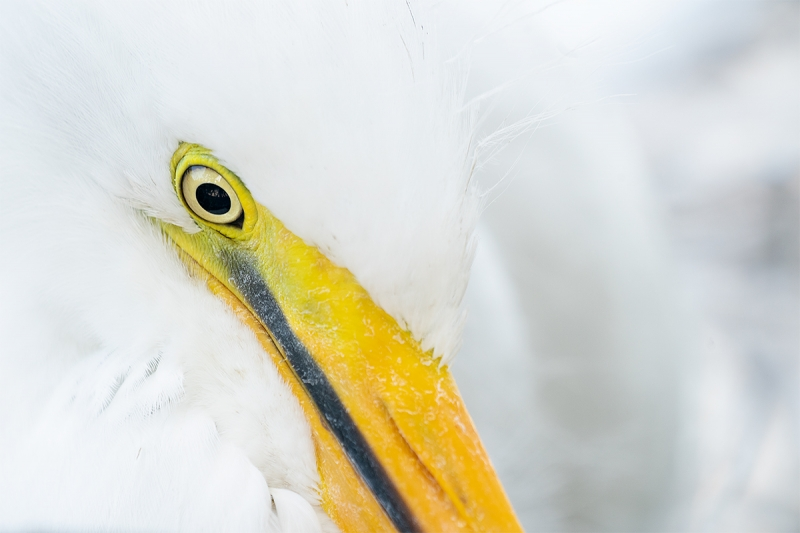 Great-Egret-large-unfledged-chick-tight-face-_A9A1608--Gatorland-Kissimmee-FL
