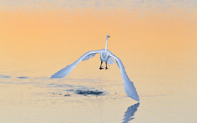Great-Egret-lifting-off-in-orange-morning-light-04100858-East-Beach,-Fort-de-Soto,-St.-Petersburg,-FL