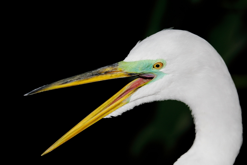 Great-Egret-squawking-_W5A0018-Gatorland,-Kissimmee,-FL,--