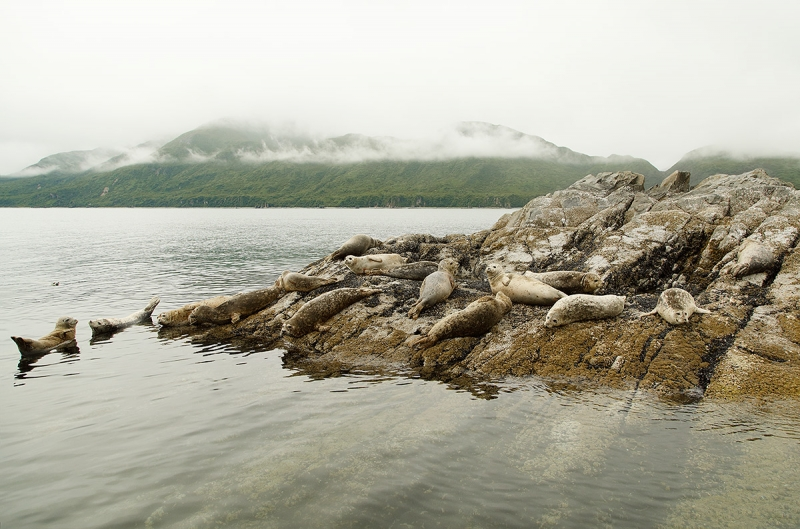 Harbor-Seals-hauled-out-_W5A5502-Kukak-Bay,-Katmai-National-Park,-AK