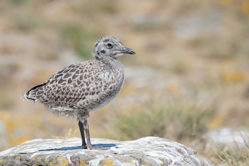 Herring-Gull-large-chick-A-_MAI1007islands-off-Seahouses,-UK