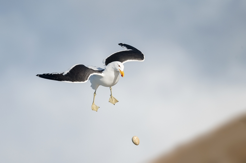 Kelp-Gull-dropping-rockhopper-egg-_MAI0983-The-Neck,-Saunders-Island,-Falklands