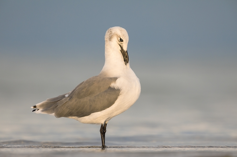 Laughing-Gull-winter-plumage-adult-preening-_28A2452--Fort-DeSoto-County-Park,-FL