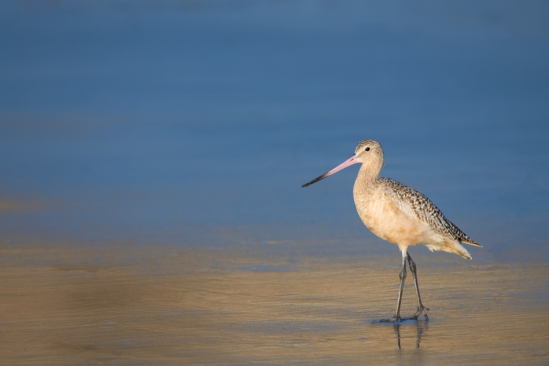 Marbled-Godwit-on-beach-_DSC3398--La--Jolla,-CA